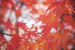 紅葉の写真・画像素材[985714]