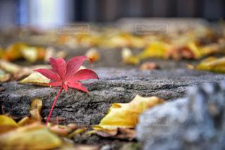 枯れた紅葉の写真・画像素材[985726]
