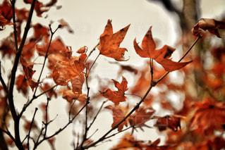 枯れた秋の写真・画像素材[985728]