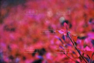 赤い葉の写真・画像素材[985743]