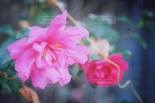 冬の花の写真・画像素材[985744]