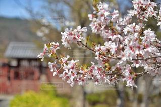 桜の写真・画像素材[1150169]