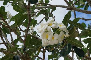 プルメリアの木の写真・画像素材[985435]
