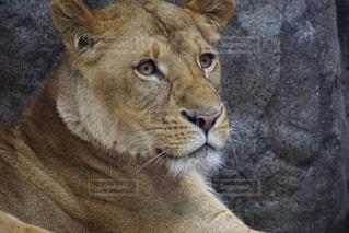 驚くライオンの写真・画像素材[985751]