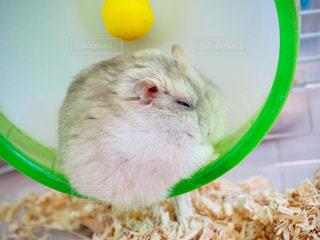 眠ってるハムスターの写真・画像素材[999338]