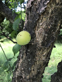 梅の木の実の写真・画像素材[987161]