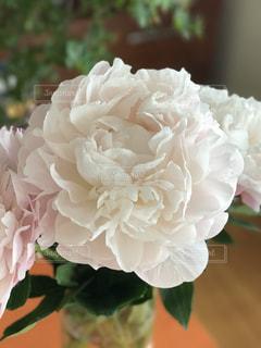 淡いピンクの芍薬の写真・画像素材[987168]