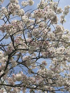 桜の木の写真・画像素材[987191]