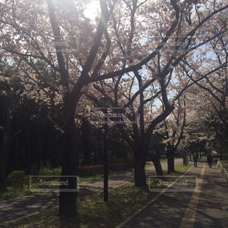 さくら咲く遊歩道の写真・画像素材[988198]