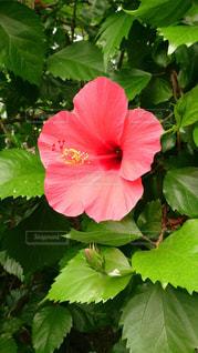 緑の葉と赤い花の写真・画像素材[986340]
