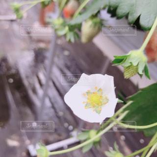 いちごの花の写真・画像素材[986417]