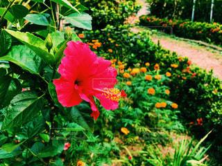 ハイビスカスの庭の写真・画像素材[1086377]