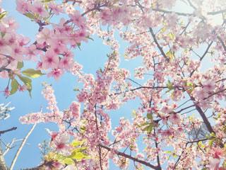 河津桜 下からのアングル 逆光 - No.987608