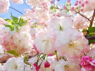 八重桜と青空 - No.993222
