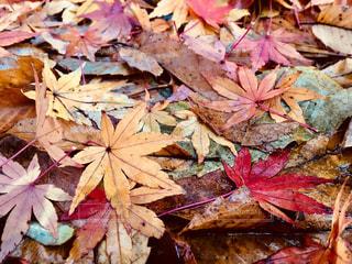 水にぬれた落ち葉の写真・画像素材[998787]