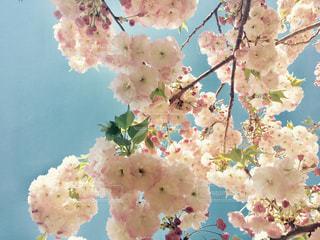 遅咲きの八重桜 花のアップの写真・画像素材[1003593]