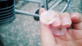 桜の花を持つ手のアップの写真・画像素材[1042573]