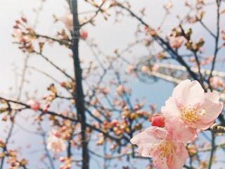 咲いたばかりの河津桜 - No.1067343