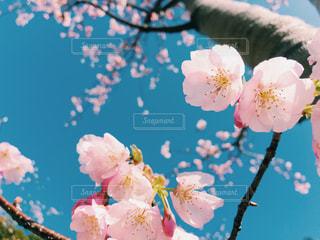 下から見上げた桜の木の写真・画像素材[1067582]