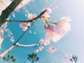 横から撮った桜の花と蕾の写真・画像素材[1070475]