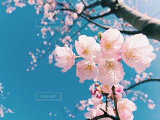 桜の花のアップ - No.1070480
