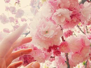 八重桜と手のアップ - No.1105759