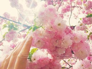 女性の手と、桜の花のアップの写真・画像素材[1105760]