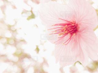 桜の花のクローズ アップ - No.1107834