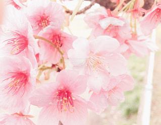 桜の花のアップ - No.1107835