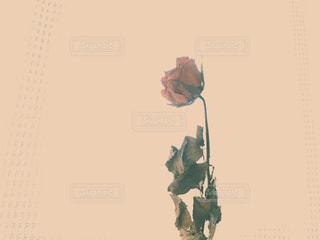 バラの花の写真・画像素材[1110643]