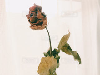 バラの花のアップの写真・画像素材[1110644]