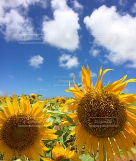 ♡ひまわり畑♡の写真・画像素材[989005]