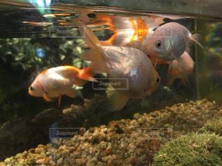 水の中の金魚の群れの写真・画像素材[1184004]