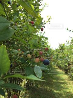 果樹のクローズアップの写真・画像素材[2721195]