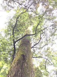 伊勢神宮の大きな木を見上げての写真・画像素材[2728973]