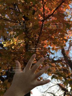 楓と大きさ比べの手の写真・画像素材[2769345]