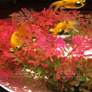 金魚トリオ - No.990600