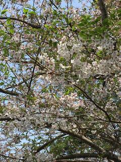 桜が散ってからのお楽しみの写真・画像素材[1134568]