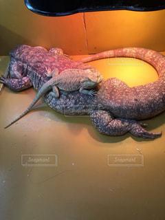 近くに爬虫類のアップの写真・画像素材[1003115]