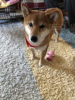 敷物の上犬の地位の写真・画像素材[1004617]
