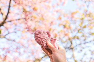 桜とピンクのたい焼きの写真・画像素材[3308773]