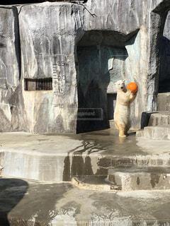 アクティブなホッキョクグマの写真・画像素材[1013492]