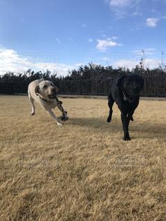乾いた草のフィールドに立っている犬の写真・画像素材[988993]