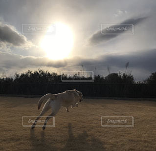 夕焼けに向かって走る犬の写真・画像素材[989092]
