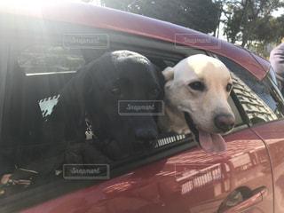 車の窓から顔を出す犬の写真・画像素材[989161]