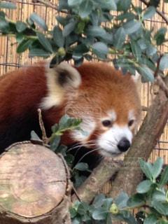 枝に座っているパンダの写真・画像素材[989392]