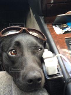 サングラスをかけている犬 - No.989498