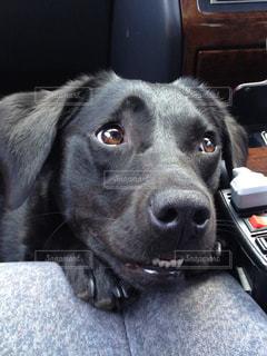 車に乗っている犬の写真・画像素材[989501]