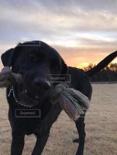 夕焼けの庭を遊ぶ黒犬の写真・画像素材[1133901]