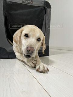 歯磨きをする犬の写真・画像素材[4090485]